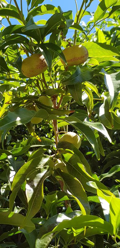 One of the beautiful native food plants with fruit