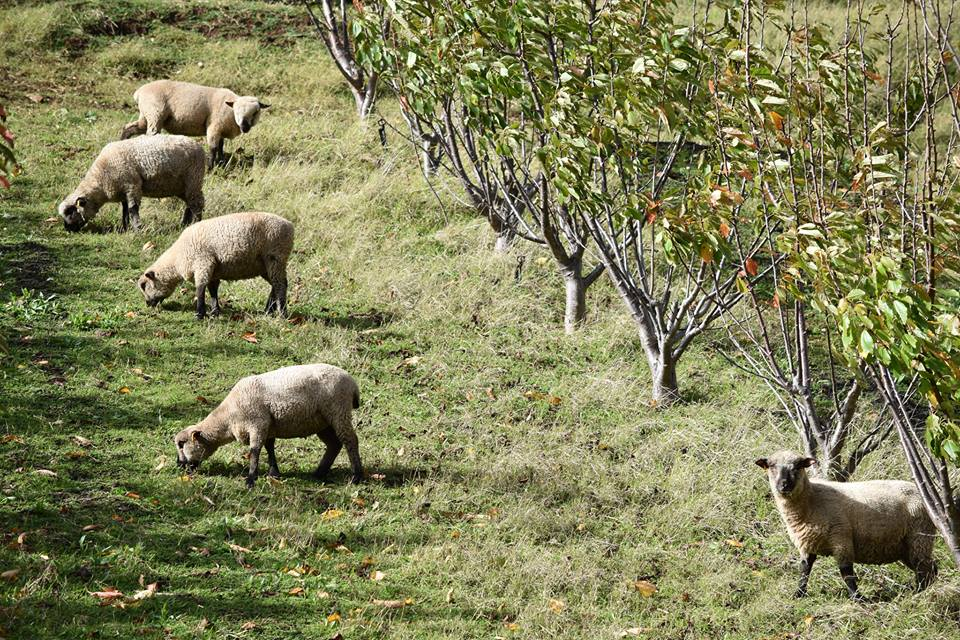 Sheep grazing in a cherry orchard