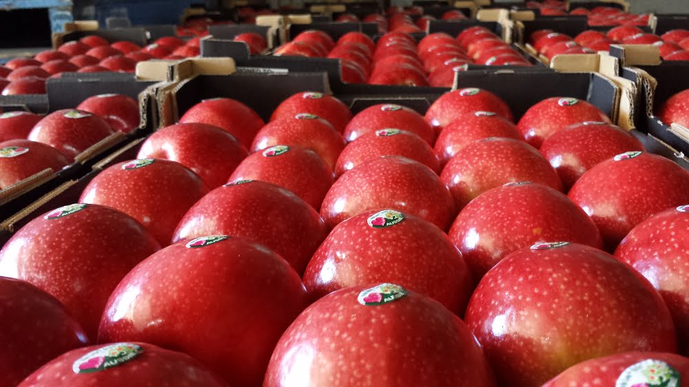 Pink lady apples packed and ready to go to market