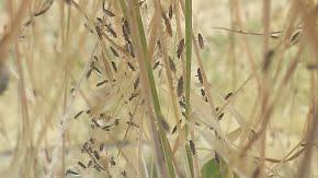 Rutherglen bugs taking advantage of long grass for a habitat