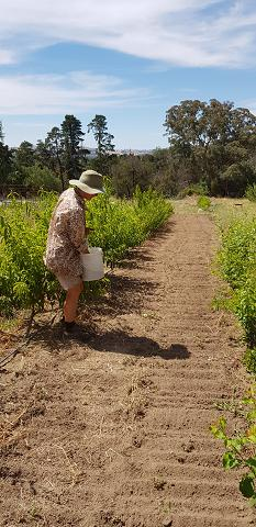 Sas planting a green manure crop in the nursery