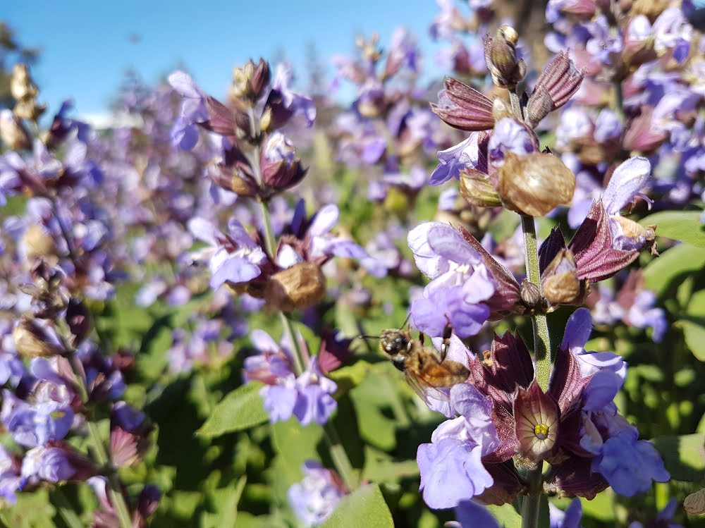 Flowering sage attracting bees