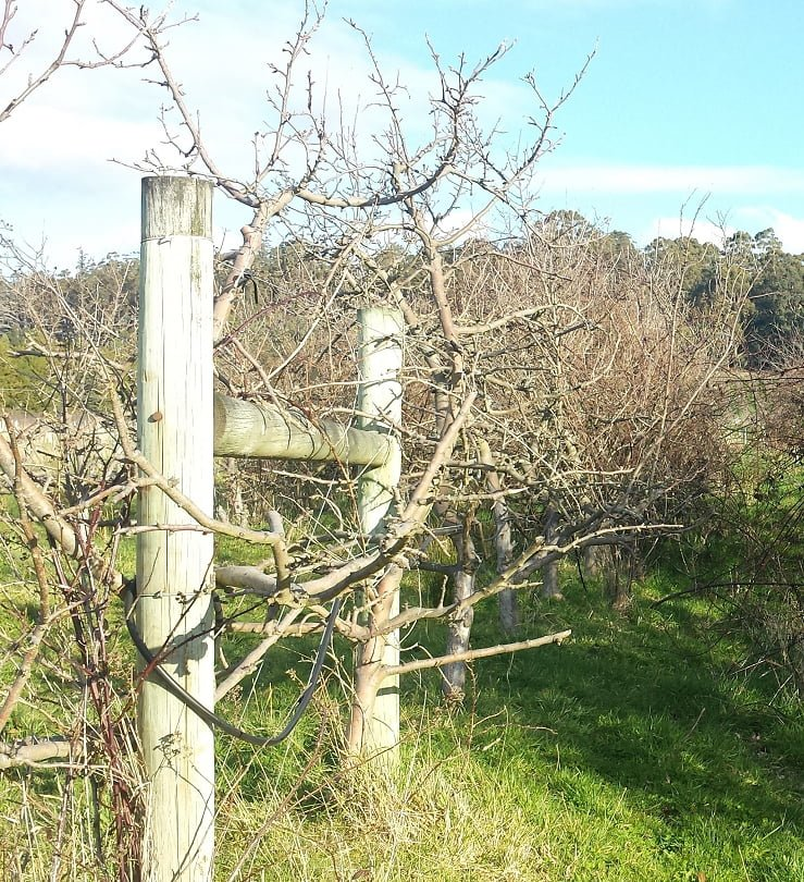 Apple trees after the first year's renovation pruning