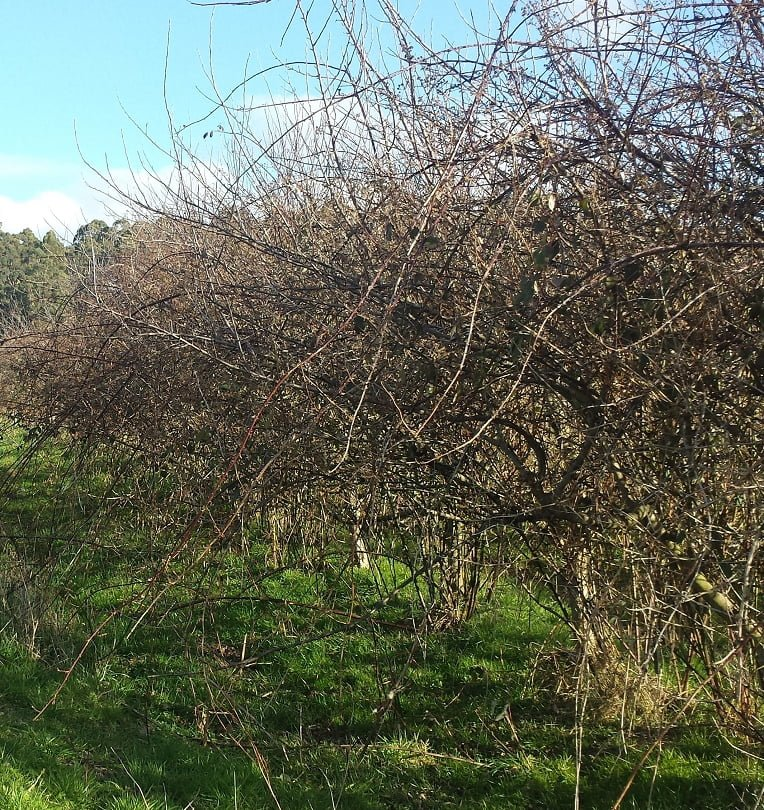 Wild apple trees that have been left unpruned for a few years