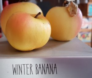 Yellow winter banana apples on a shelf