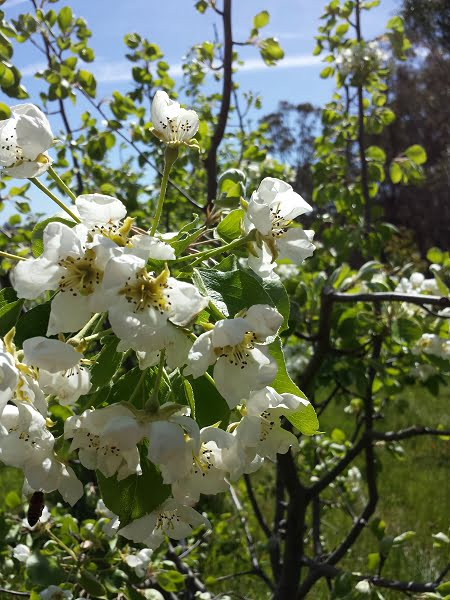 Gorgeous white pear flowers