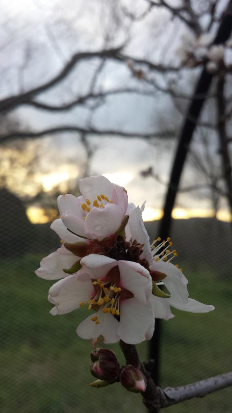Almond flowers at sunset
