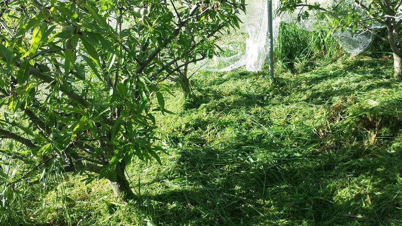 Mowed grass under almond trees makes it easier to find the fallen nuts