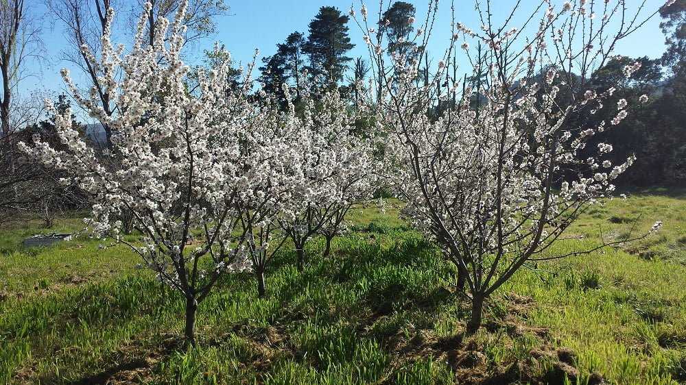 Almond trees coming into full bloom