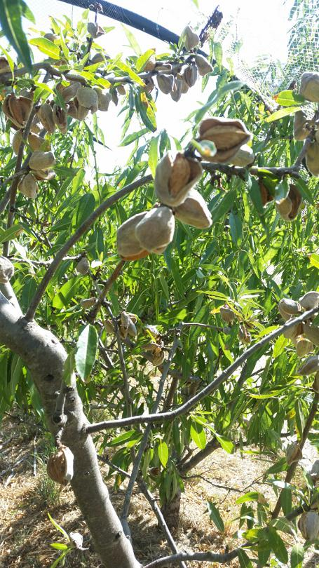 Almonds ready to harvest - the husks have opened and started to dry