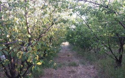 Four reasons for yellow leaves on fruit trees