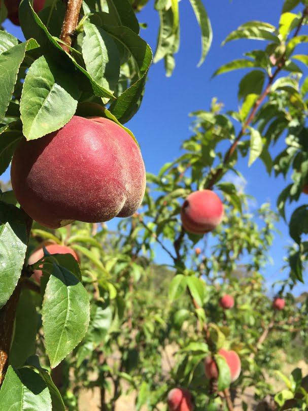Beautiful, ripe white-fleshed Anzac peaches ready to pick