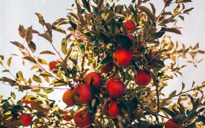Before you plant a fruit tree, do these 5 steps