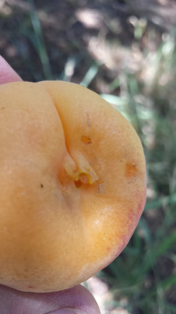 A Castlebrite apricot that's been picked a bit too ripe, resulting in a picking injury