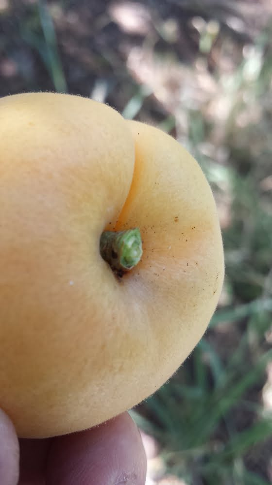 A Castlebrite apricot that's been perfectly picked, with stem intact