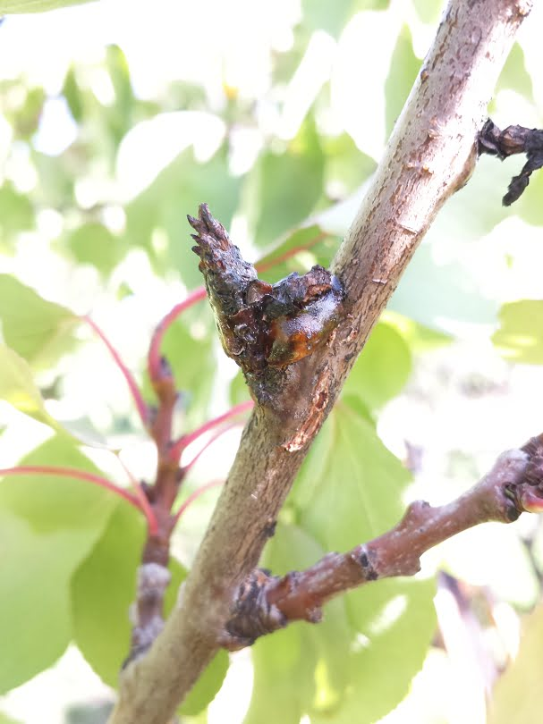 Remove this diseased wood when pruning for good disease control