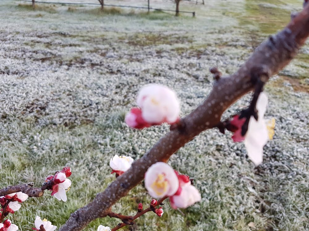 Spring frosts while trees are flowering can sometimes cause damage