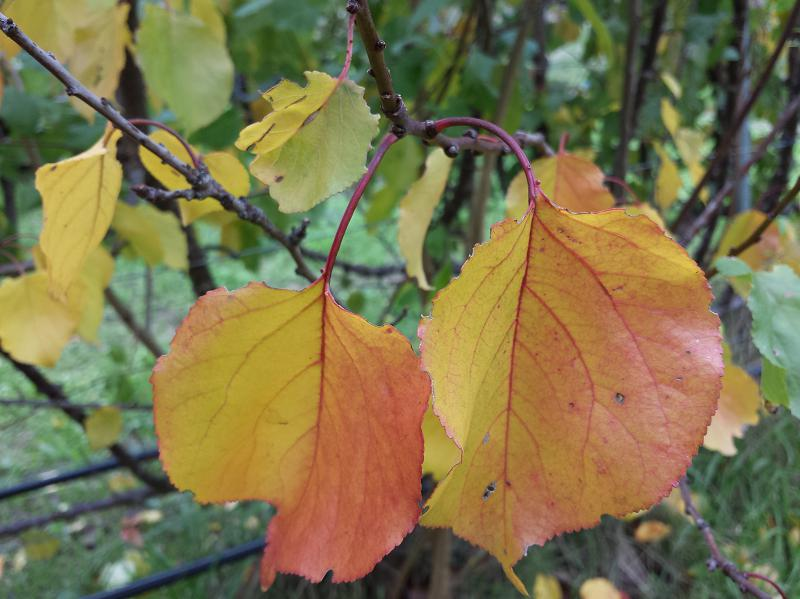 Apricot leaves showing beautiful autumn yellow and orange colours
