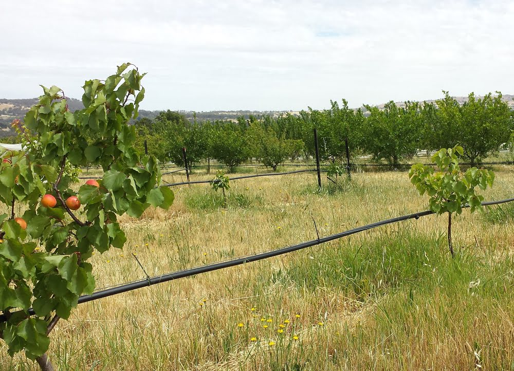 Three year old apricot trees of different sizes