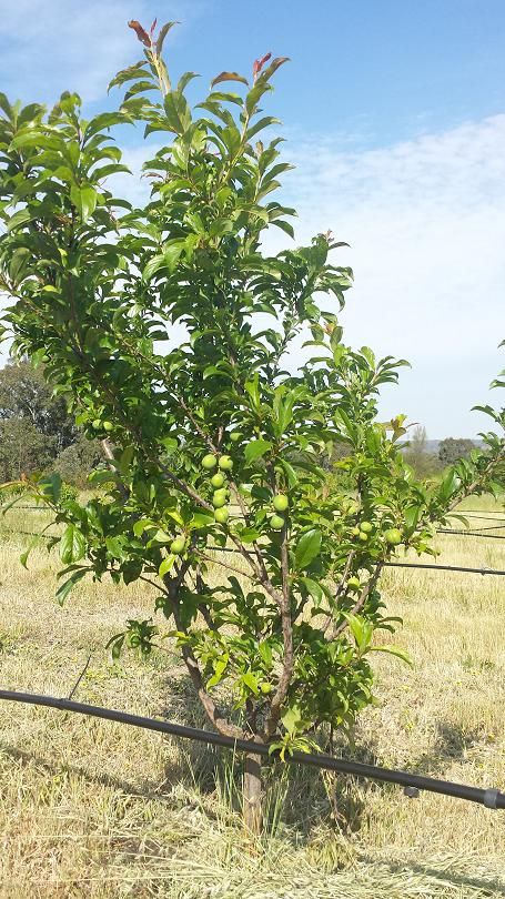 Plum tree recovered after grasshopper damage