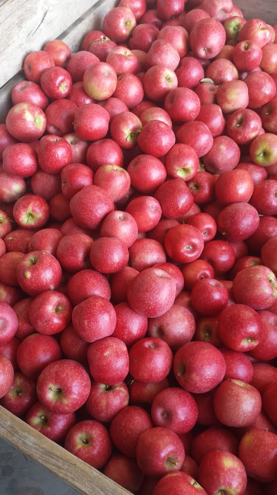 A bin full of beautiful Pink Lady apples
