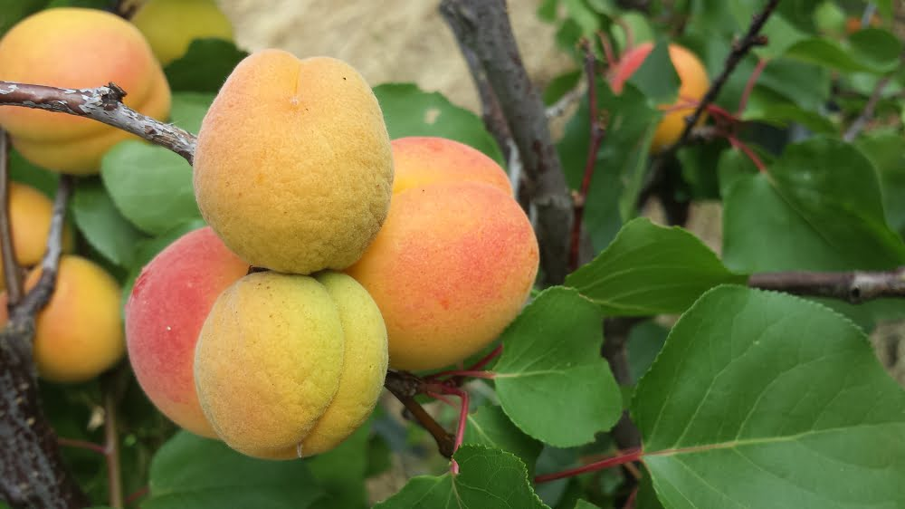 How to Get Started with Fruit Thinning