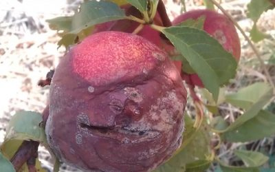 Noticed any brown rot this summer?