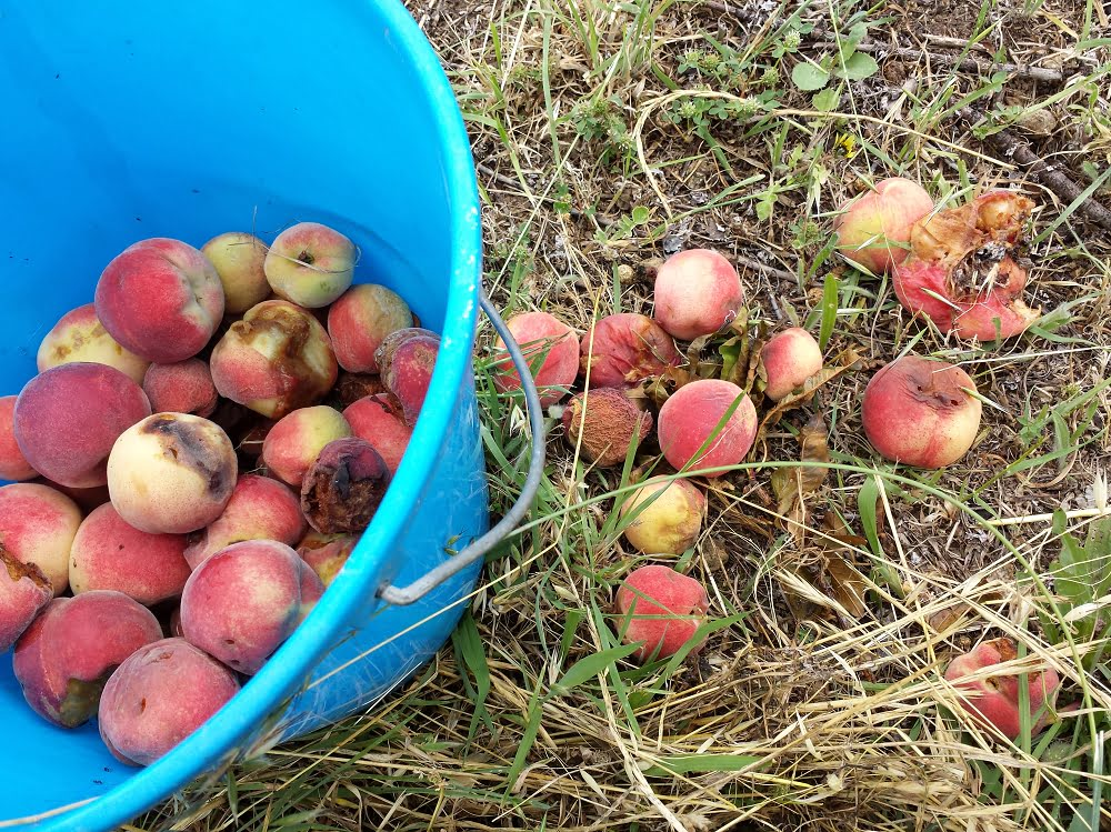 Damaged peaches on the ground