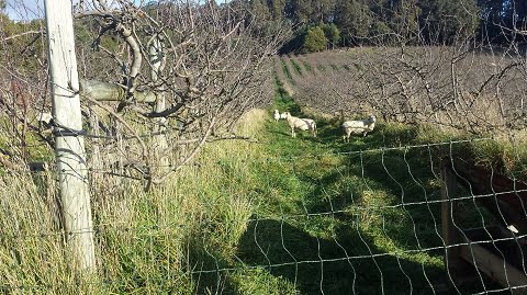 Electric netting keeping sheep in an orchard