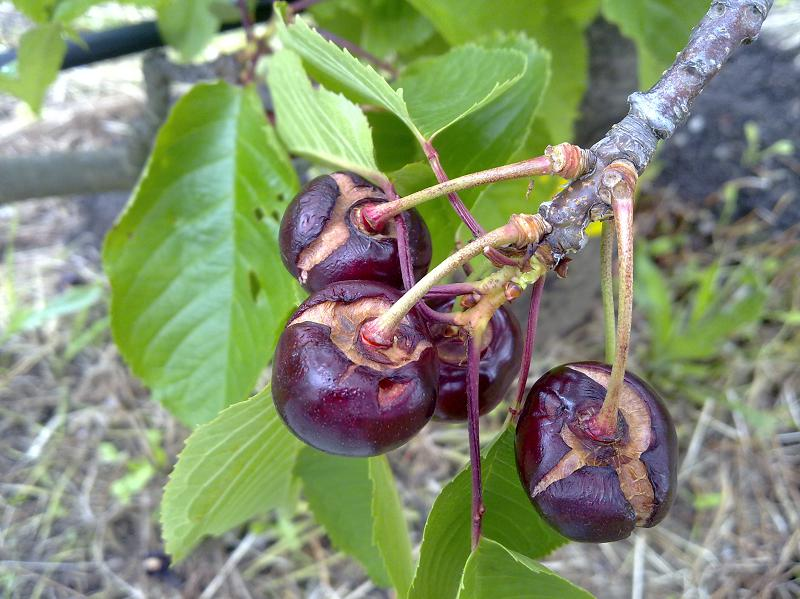 Cracked cherries after too much rain