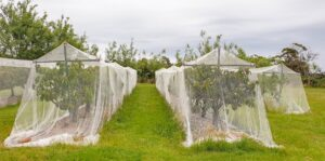 cherry trees covered by a net