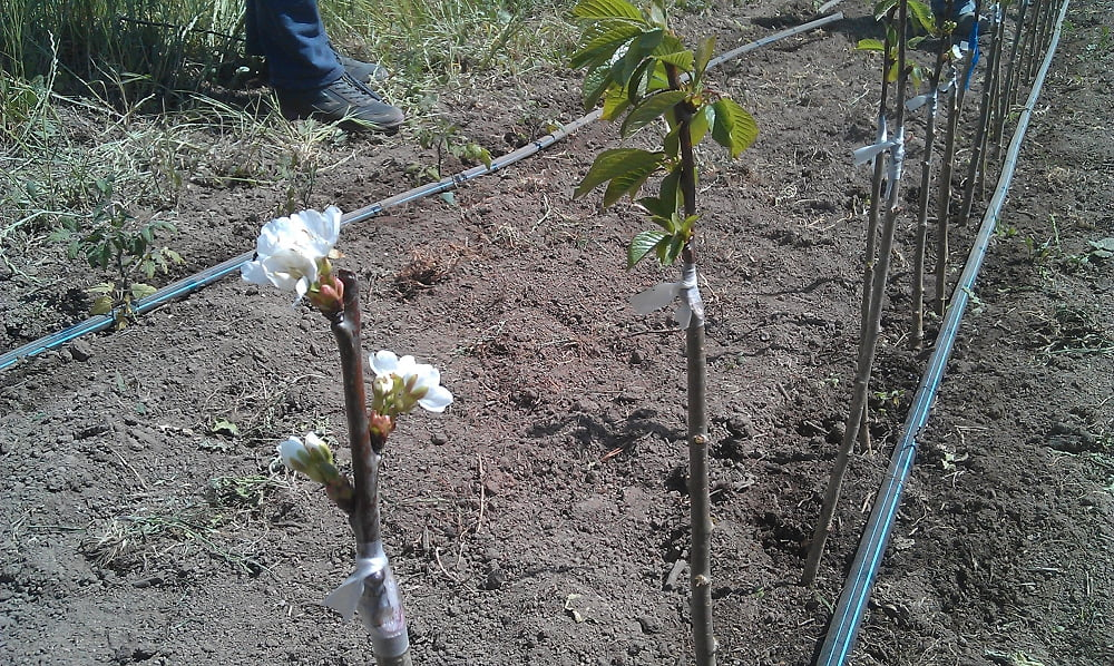 Grafted cherry trees in the nursery