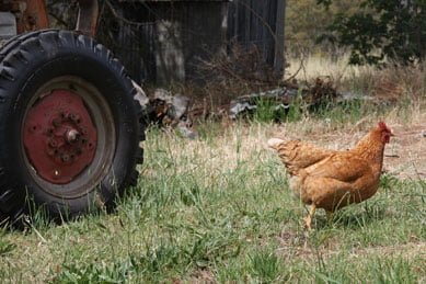 A chicken on earnest bug eating duty on the farm