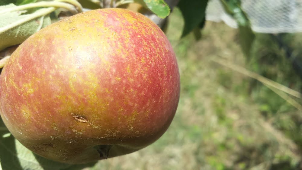 What are those brown marks on my apples?