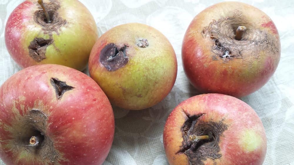 Russet, cracks and sunburn in Cox's Orange Pippin apples