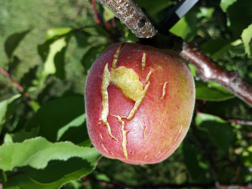 An apricot with a severe crack caused by rain