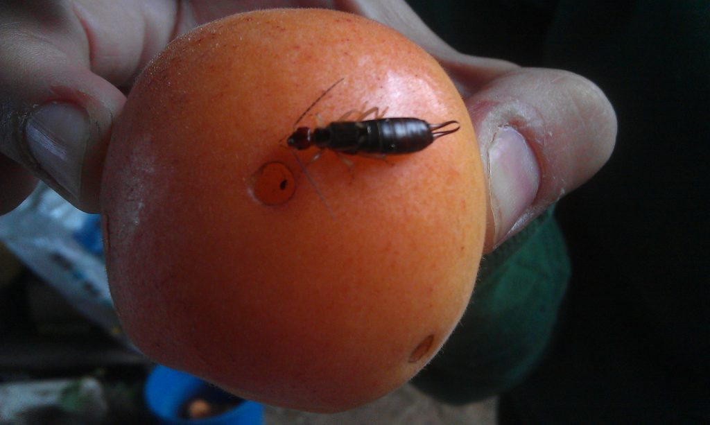 Earwig and earwig damage on Castlebrite apricot