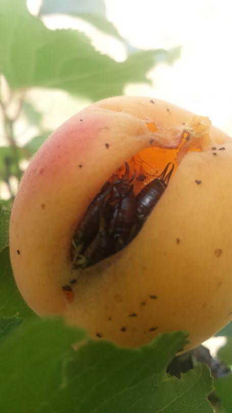 A cluster of earwigs inside an apricot
