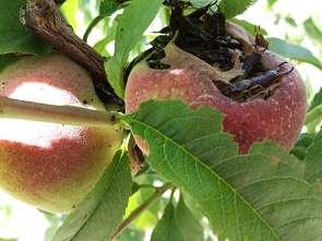 earwigs-in-peach-295x221