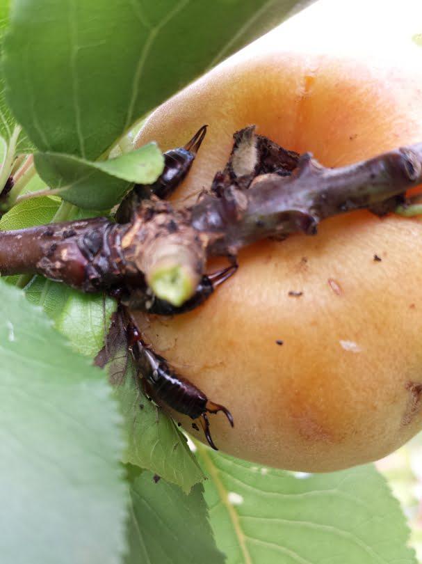 Earwigs lurking on an apricot