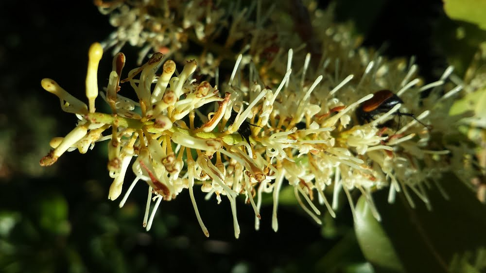 A macadamia flower with insects (look carefully...)