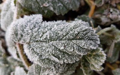 Providing Frost Shelter for Fruit Trees