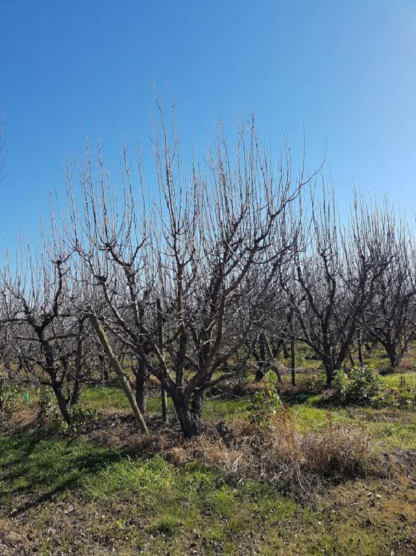 Pear trees that have been hedge pruned