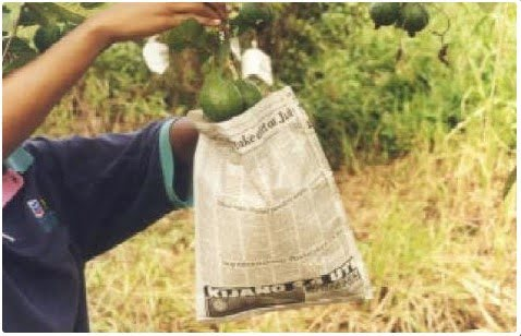 Using newspaper folded and stapled to make a bag to protect fruit from fruit flies. (Photo credit: apps.lucidcentral.org)