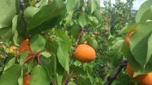 goldrich-apricots-tree