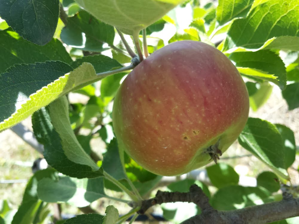 Beautiful ripe Gravenstein apple showing the characteristic red stripe over a green background
