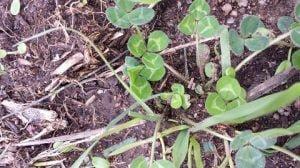 green manure clover-480x269