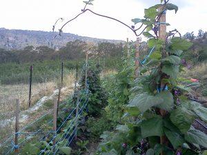 gung-hoe-purple-beans-growing