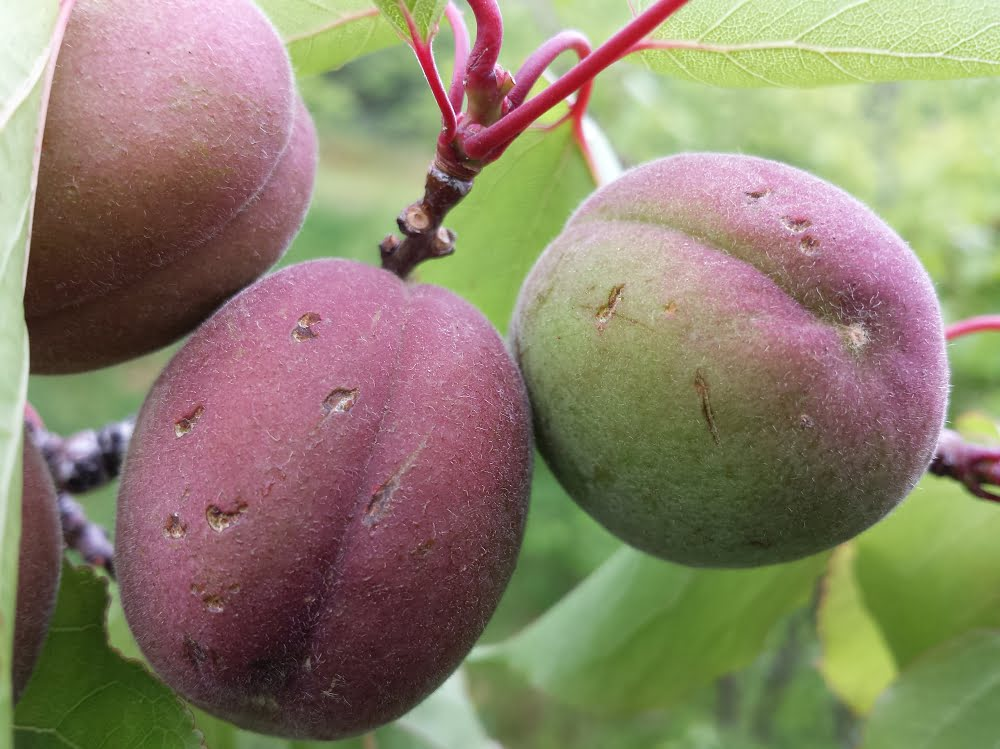 Hail damage on young apricots