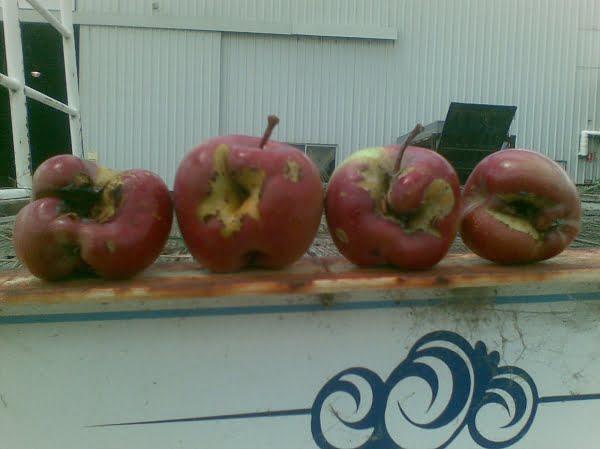 hail-damaged-apples-600x449